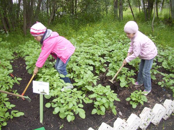 окучивание картофеля на «витаминном огороде»