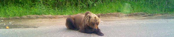 этот медведь вышел на трассу Ухта-Сыктывкар (июль 2010 г.)