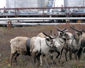 Нефтедобыча оленеводству не помеха